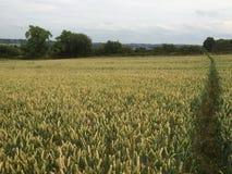 Vetefält i England Arkivbilder