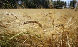Vetefält i perspektiv Fotografering för Bildbyråer