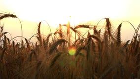 Vetefält i soligt panelljus med solstrålen lager videofilmer