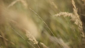 Vetefält i solnedgång Öron av veteslutet upp Skörd- och plockningbegrepp Fält av guld- svänga för vete Natur arkivfilmer