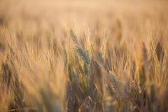 Vetefält i solnedgång Fotografering för Bildbyråer