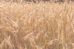 Vetefält i sommarsolsken för sen eftermiddag Arkivfoton