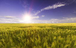 Vetefält i strålarna av den ljusa solen Royaltyfri Fotografi
