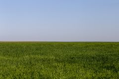 Vetefält i Texas på en Windy Day Arkivbilder