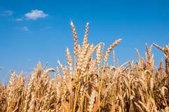 Vetefält med blå himmel Fotografering för Bildbyråer