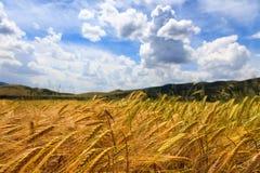 Vetefält med blå himmel royaltyfri foto