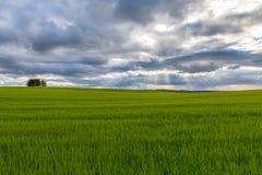 Vetefält med solstrålar som bryter till och med molnet Arkivfoto
