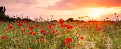 Vetefält med vallmo Arkivfoto