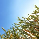 Vetefält mot en blå himmel Fotografering för Bildbyråer