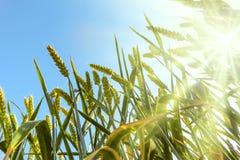 Vetefält mot en blå himmel med sol-strålar Arkivbilder