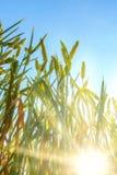 Vetefält mot en blå himmel med sol-strålar Royaltyfri Fotografi