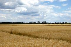 Vetefält och blå himmel Arkivbild