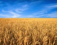 Vetefält och blå himmel som bakgrund Royaltyfria Foton