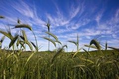 Vetefält och blå sky arkivfoto
