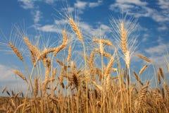 Vetefält och himmel Fotografering för Bildbyråer