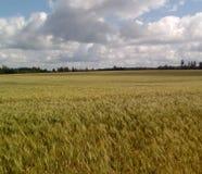 Vetefält och moln Arkivfoton