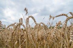 Vetefält och molnig dag Royaltyfri Fotografi