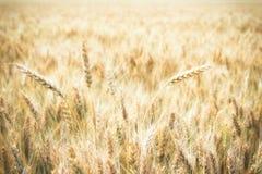 Vetefält och solig dag Royaltyfri Fotografi