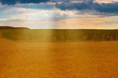 Vetefält och solrosor på solnedgången Arkivfoto