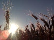 Vetefält och soluppgång Royaltyfri Fotografi