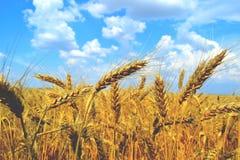 Vetefält och sommar för blå himmel Arkivfoto