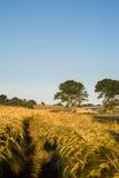 Vetefält och träd Royaltyfri Fotografi