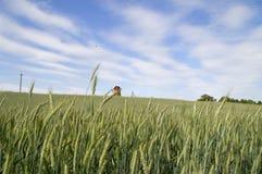 Vetefält och väderkvarn i avståndet Royaltyfri Fotografi