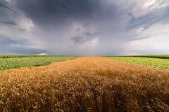 Vetefält på den stormiga dagen Royaltyfri Fotografi