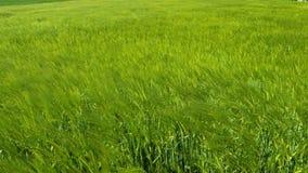Vetefält på en breezy dag i vår arkivfilmer