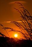 Vetefält på solnedgången Arkivfoto
