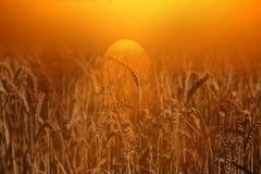 Vetefält på soluppgång A Arkivfoton