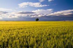 Vetefält på våren på Apulia, Italien royaltyfri fotografi