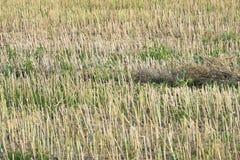 vetefält under solen, jordbruk, naturlig bakgrund, korn, bröd arkivfoton