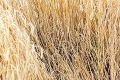 Vetefälten Arkivfoton