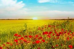 Vetefältet av den ljusa röda vallmo blommar i sommar royaltyfria bilder