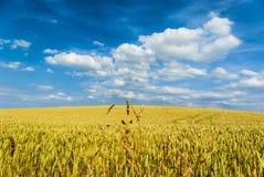 Vetefältet med blå himmel och vit fördunklar i förgrunden i mitt av några stora stjälk, Weizenfeld mit-blauem Himmel royaltyfri bild