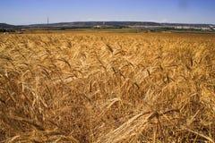 Vetefältet med gulnade mognande sädes- spikelets på fältet royaltyfria bilder