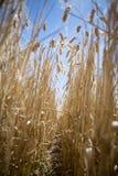 Vetefältet ror låg vinkel Royaltyfria Foton