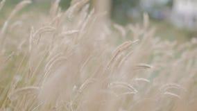 Vetef?lt p? gryning ?ron av vete som sv?nger i vinden Vind svänger spikeletsna i olika riktningar stock video
