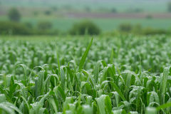 Vetefält efter regn Arkivfoton