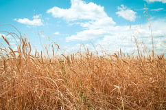 Vetefält på sommaren Arkivbild