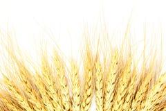 Vetehavren korn eller rågkorn gå i ax closeupen i vit bakgrund arkivbild