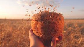Vetekorn faller på bröd i händerna av en bonde, över en veteåker moget korn hälls på läckert bröd lager videofilmer