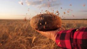 Vetekorn faller på bröd i händerna av flickan, över en veteåker moget korn hälls på läckert bröd l?ngsamt arkivfilmer