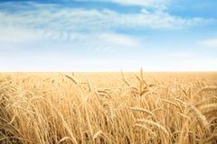 Vetekornfält på solig dag arkivfoton