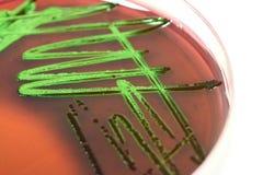 vetenskap för bakteriekulturexperiment Arkivbilder