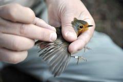 vetenskaplig fågelringning Royaltyfria Bilder