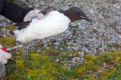 Vetenskaplig forskning för fält ornithology royaltyfri bild