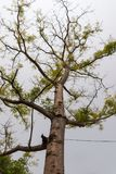 Vetenskapligt namn för gödsvinplommonträd: Spondiaspinnata royaltyfri bild