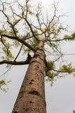 Vetenskapligt namn för gödsvinplommonträd: Spondiaspinnata royaltyfri foto